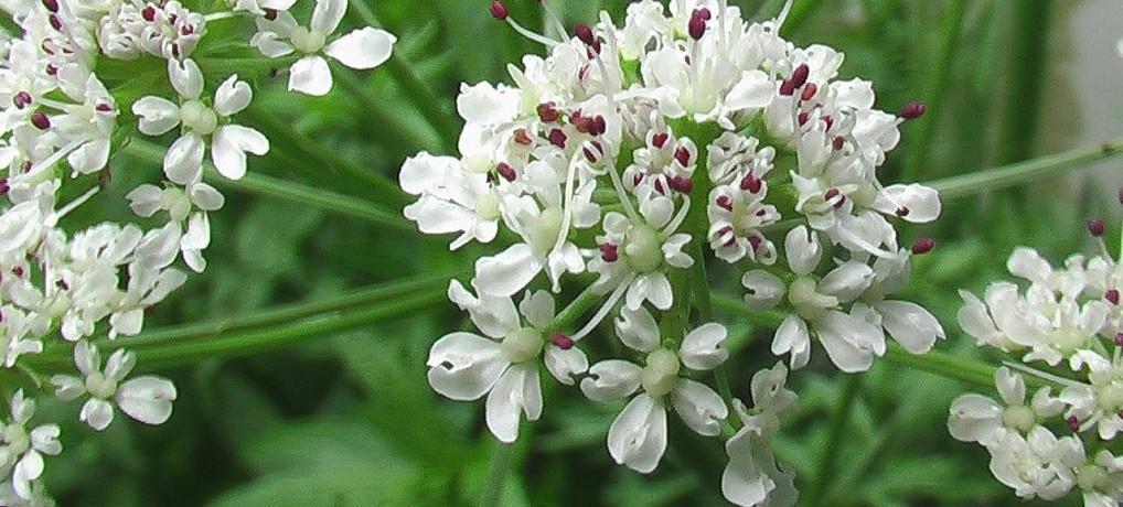 angelique plante immunitaire huile essentielle d'angélique soigner naturellement bienfaits et propriétés de la plante recette de grand mere